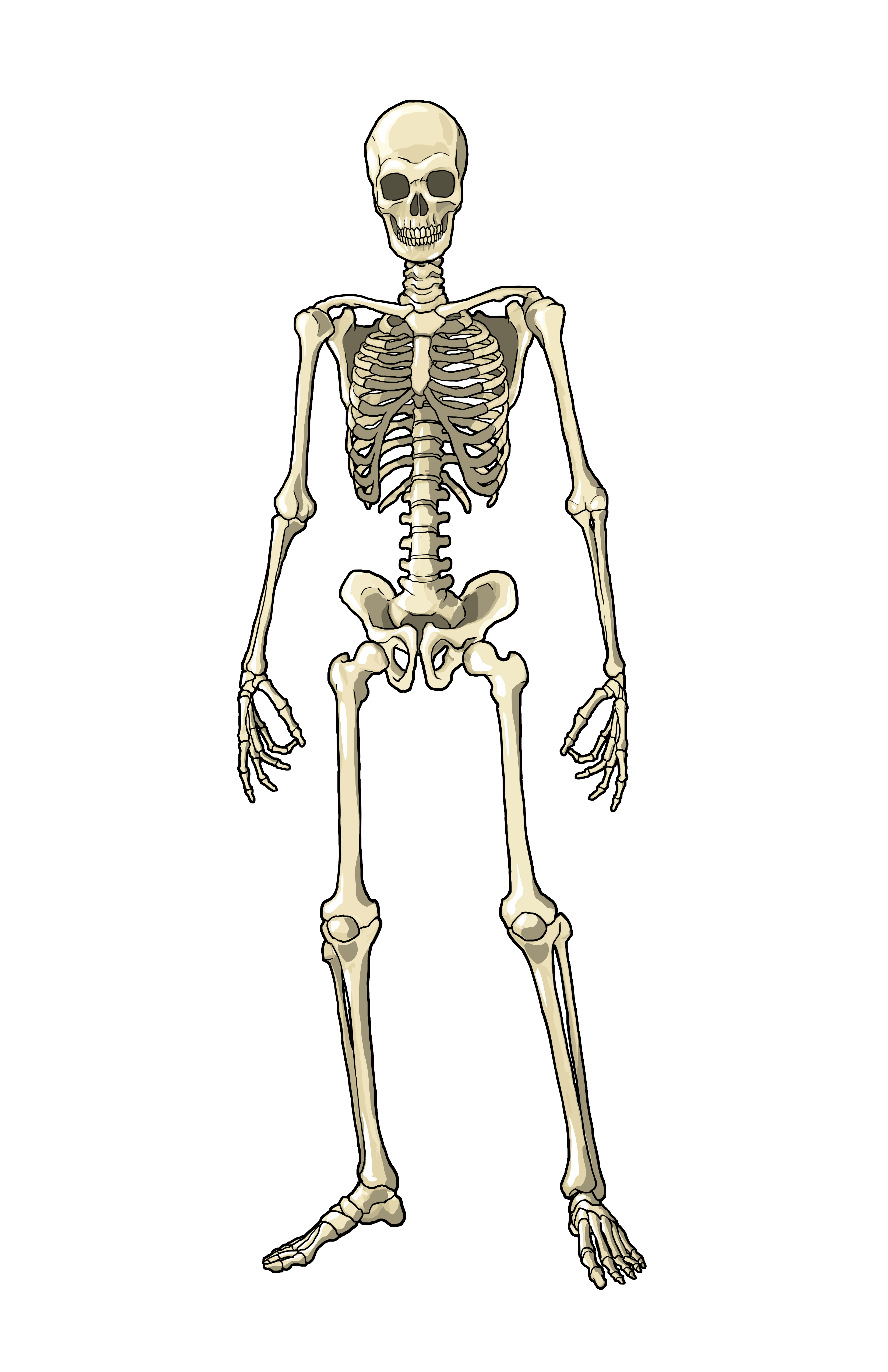 human body systems (male and female version) - skillscommons, Muscles
